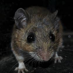 mouse in a new york home