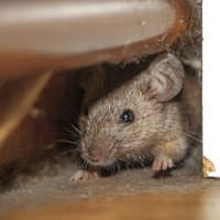 mouse found in the wall of an albany home