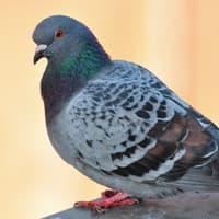 pest bird near an albany home