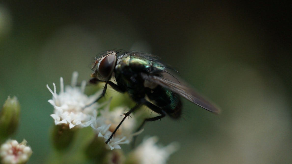 House fly pollinating on flower