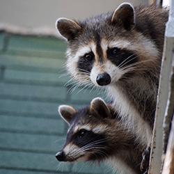 raccoons in new york