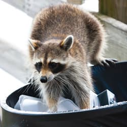 raccoon sneaking into trash on albany property