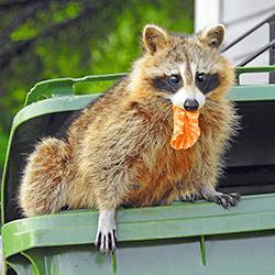 raccoon getting into trash can