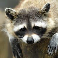 raccoon seeking shelter