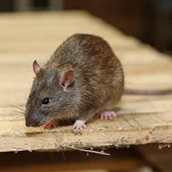 a furry rat crawling long the wooden table top of an albany new york home