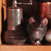 rat found in cupboard