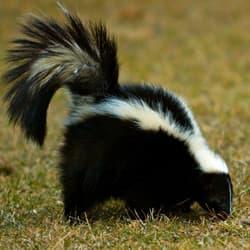 skunk roaming in backyard