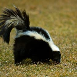 skunk found in albany