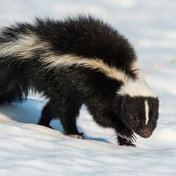 skunk walking over snow