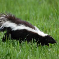 Image of a Skunk