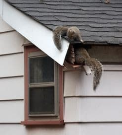 squirrels commonly live in attic