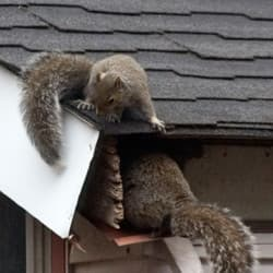 squirrels trying to get into an albany home