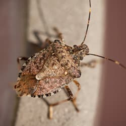 stink bug in new york home
