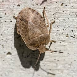stink bug crawling on foundation of home in albany