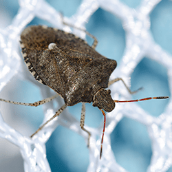 stink bug in albany home