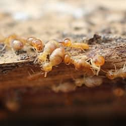 a dangerouse swarm of termites damaging a hoe in albany new york
