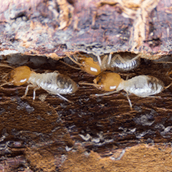termites found in albany home