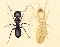 image of a termite and a carpenter ant
