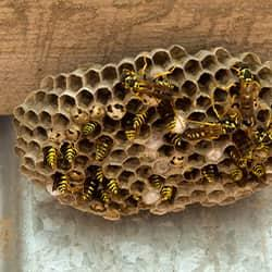 a large colony of wasps residing in their huge hive on an albany new york home