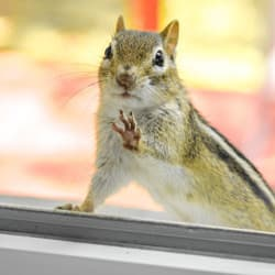 chipmunk looking through window