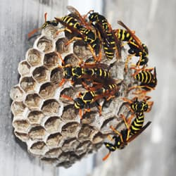 yellow jacket nest on albany home