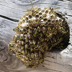 yellow jackets nest hanging out of a tree trunk