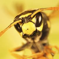 Up close image of a yellow jacket