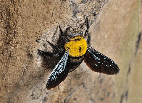 carpenter bee outside albany home
