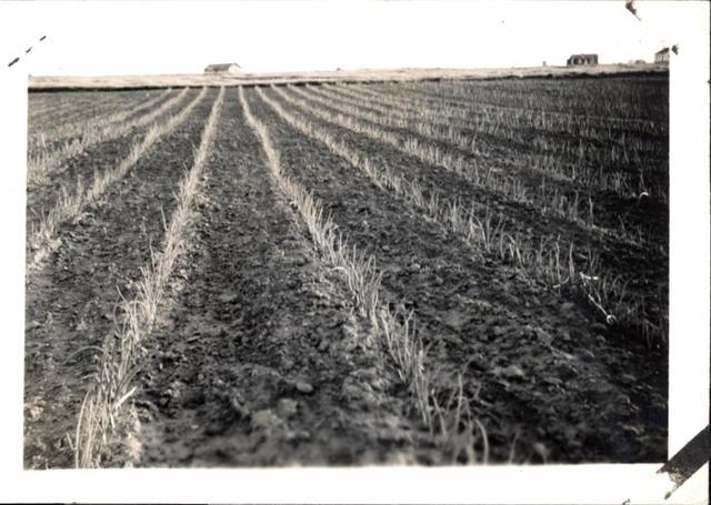 Crops ravaged by crop pests