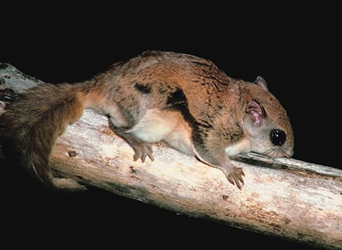 large flying squirrel found in albany ny