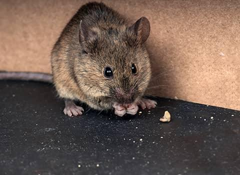 house mouse eating scraps
