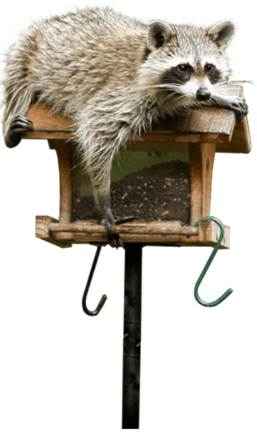raccoon on a bird feeder