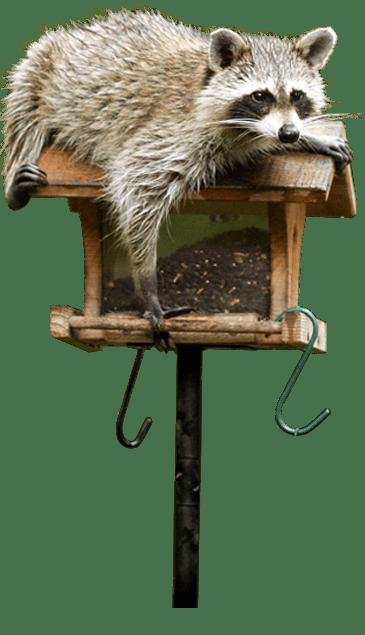 raccoon on a bird feeder