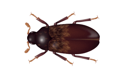 illustration of a larder beetle