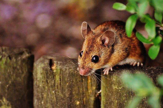 Mouse on wooden fence
