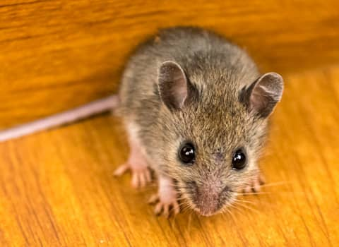 mouse hiding in new york home
