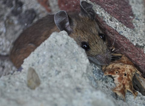 mouse hiding next to edinburg home