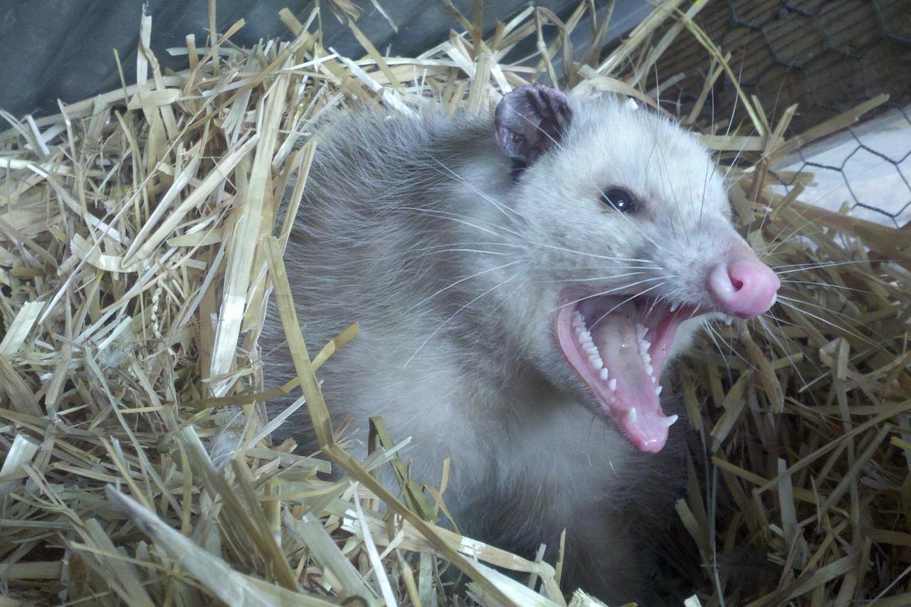 Opossum yelling
