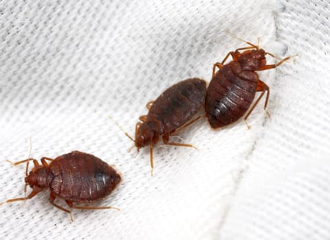 bed bugs on a sheet