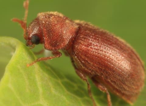 cigarette beetle