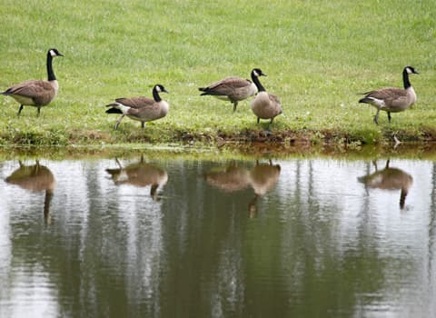 geese near water
