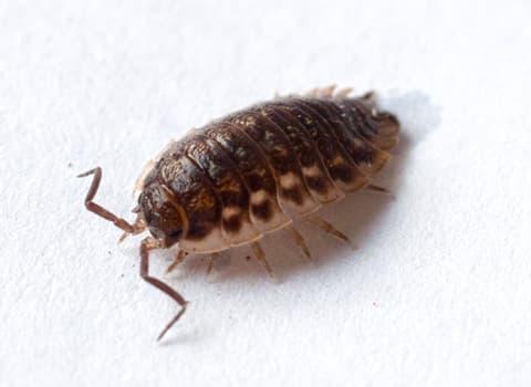 sow bug/pill bug