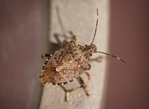 stink bug on building