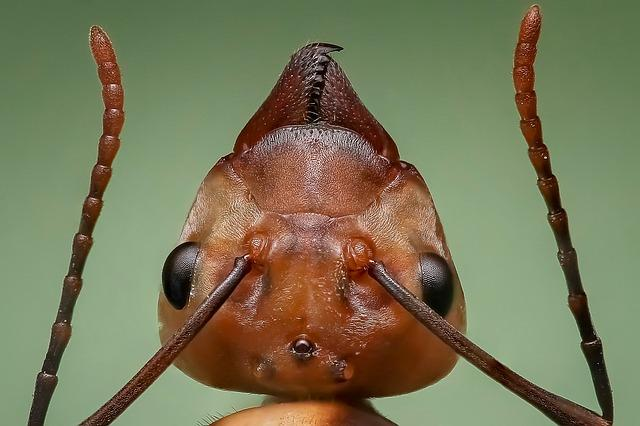 Queen ant close up of head