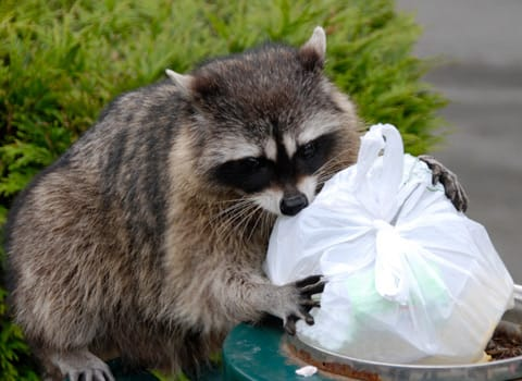 raccoon getting into trash can