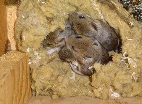 mice nesting in attic insulation