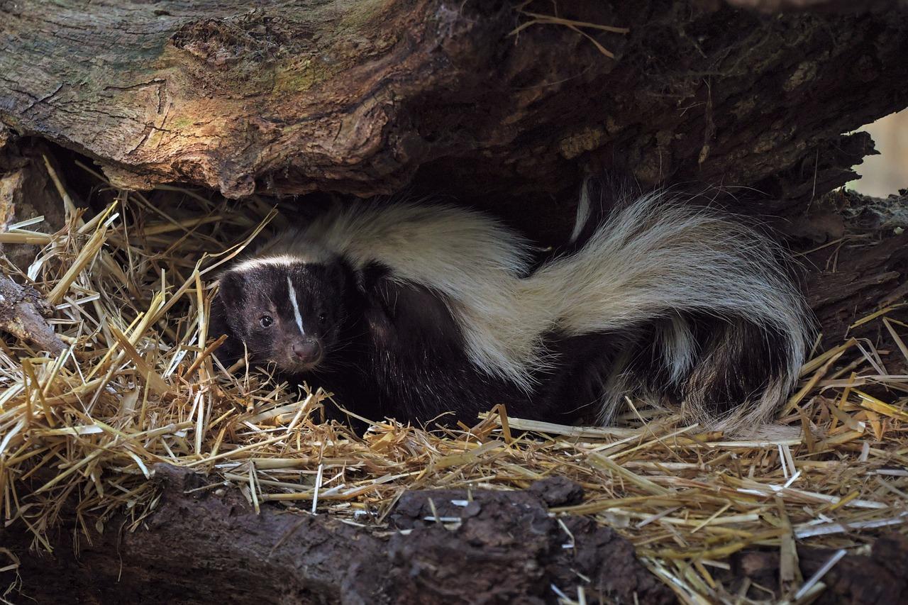 Skunk hiding