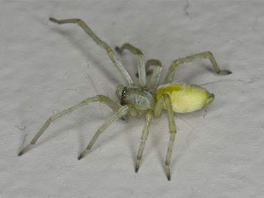 A yellow sac spider standing on a white surface