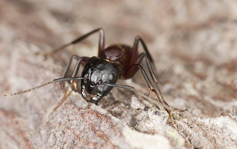 a carpenter ant on a tree branch