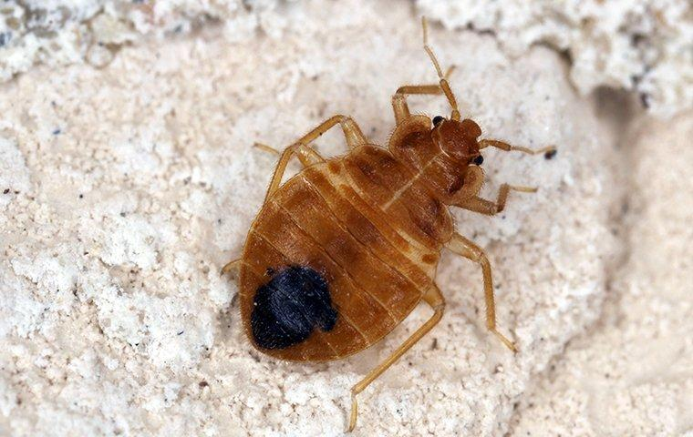 a bed bug in a home